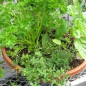 Curly Parsley, Sweet Basil, Thyme
