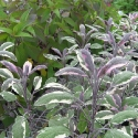 Pineapple Sage, Tricolour Sage