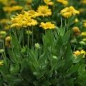 mesa-yellow