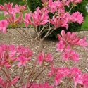 rosy-lights-azalea-june-8