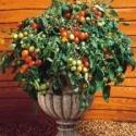 totem-tomato