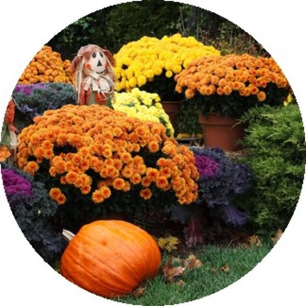 fall-mums1