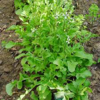 A bunch of healthy arugula, growing in a bed of soil.